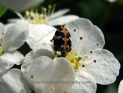 White spirea flower with insect