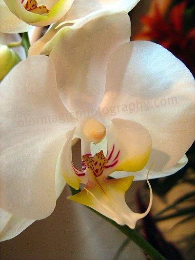 Beautiful white orchid-macro photo