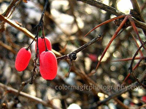 Red berries on a thorny bush