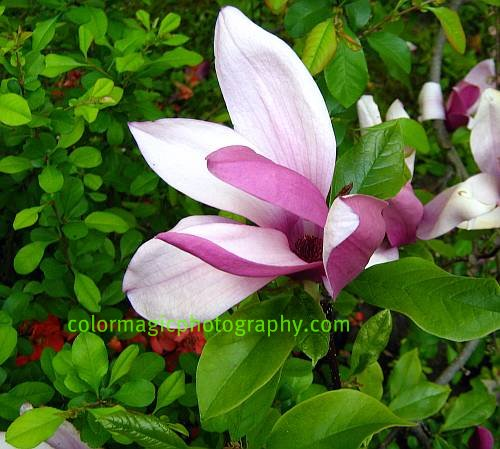 Japanese magnolia blossom