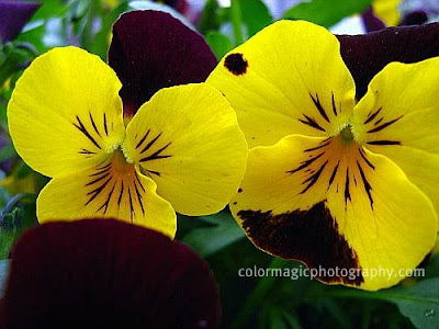 Purple-yellow pansies