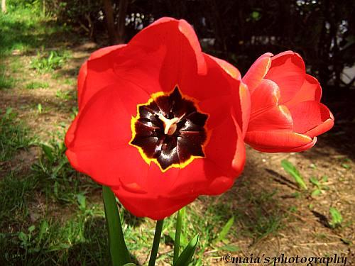 Red tulip-macro