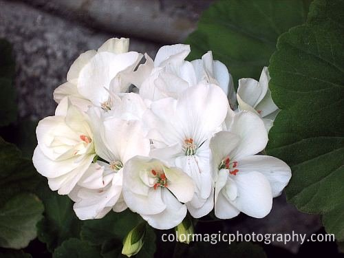 White geraniums