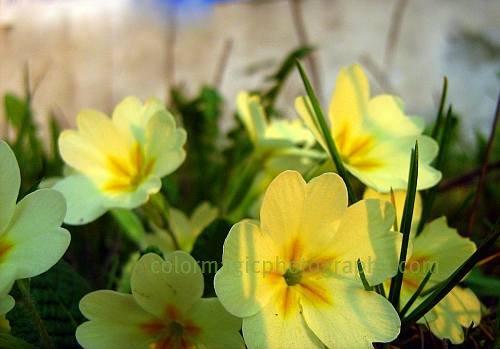 Yellow primrose-primula vulgaris