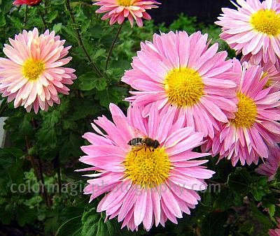 Pink daisy chrysanthemums with a bee-close-up