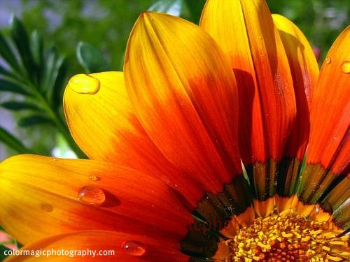 Gazania petals