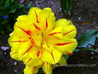 Yellow double tulip-macro