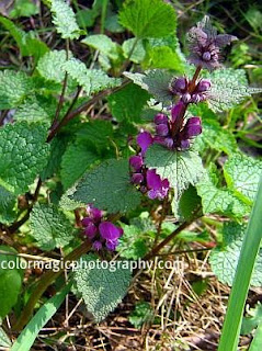 Purple dead-nettle flower plant
