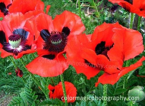 Oriental poppy-Papaver orientale