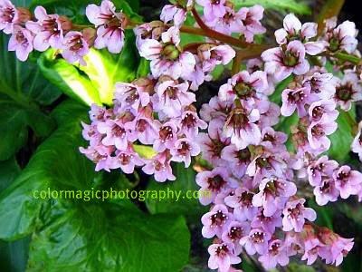 Bergenia flowers-close-up