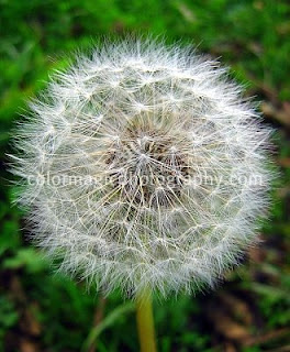 Dandelion flower clock, puffball with seeds