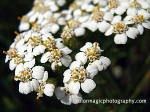 yarrow (milfoil) flower close-up