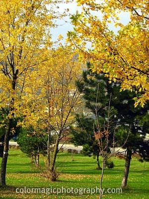 Golden-yellow autumn foliage