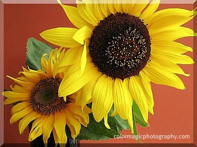 Two cheerful sunflowers against a warm colored background-close-up