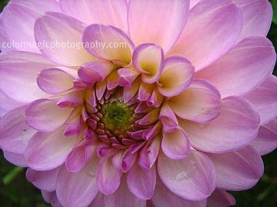 Soft pink Dahlia close-up
