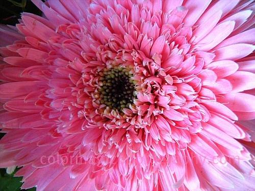 Pink gerbera macro photo