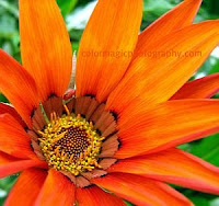 Orange-red gazania close-up