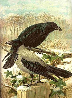Hooded Crow and Carrion Crow-drawing