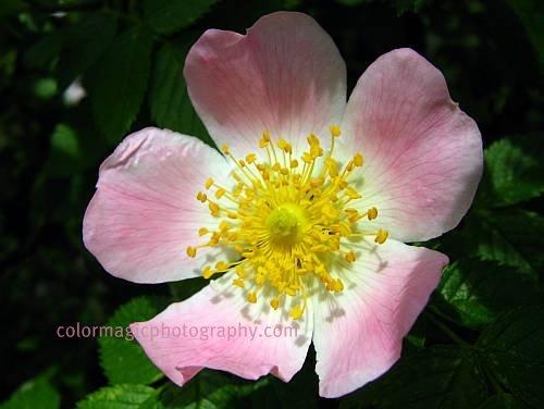 Pink rose-wild rose macro