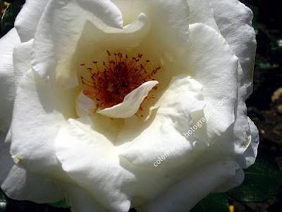 White rose-macro