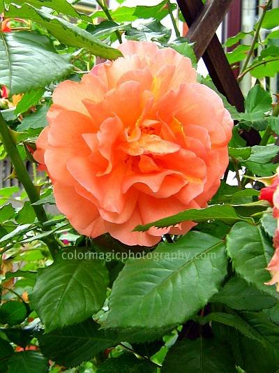 Orange climbing rose close-up