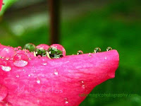 Raindrops on rose petal