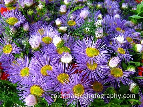 Purple aster bouquet