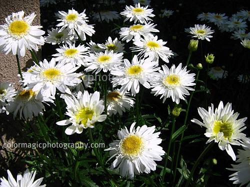 odor of chrysanthemums Odour of chrysanthemums is a short story by d h lawrence, written in the  autumn of 1909 it is set in nottinghamshire and tells the tale of a coal miner's  wife,.