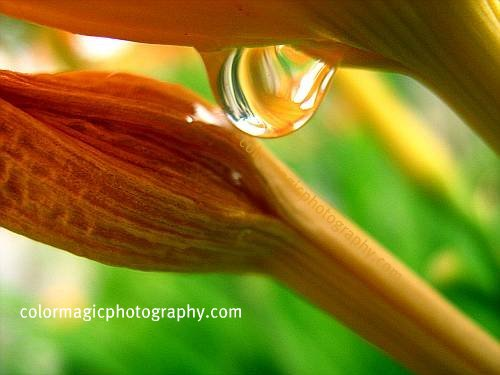 Raindrop on daylily-macro