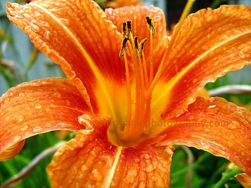 Daylily with raindrops-macro