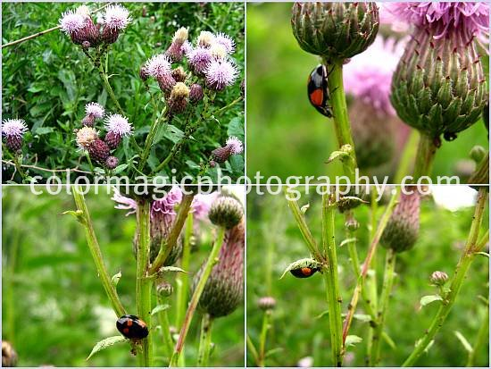Black ladybug on a Centaurea flower