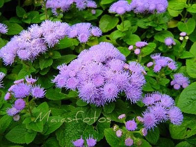 Ageratum houstonianum - Flossflower