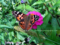 Painted lady Butterfly on purple Zinnia