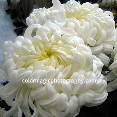 Two white mums-chrysanthemum picture