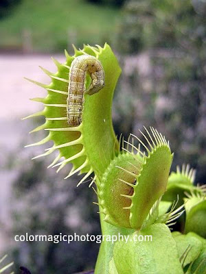 Venus Flytrap and caterpillar