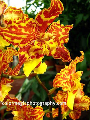Orchid-Odontocidium