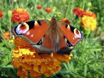 Butterfly on marigold