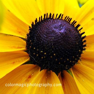 Black-eyed Susan center-macro