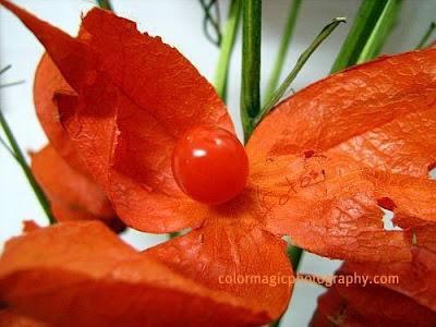 Chinese lantern fruit