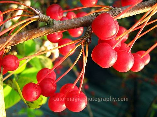 A cluster of ripe crab apple fruits