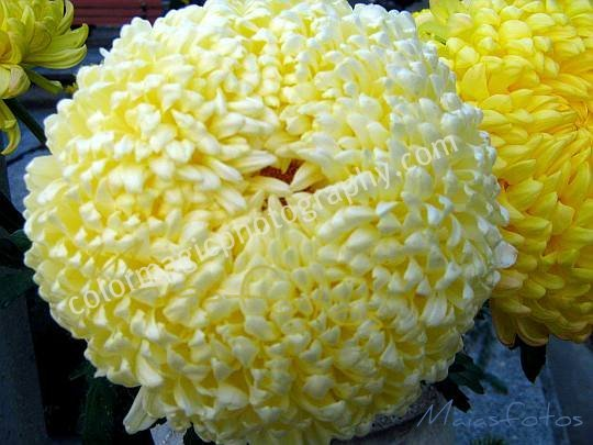 Pale yellow chrysanthemum-macro