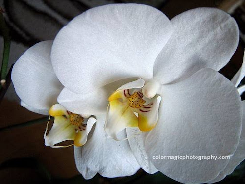 White Phalaenopsis orchid-close-up