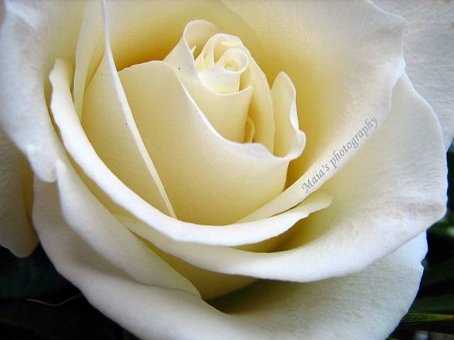 Cream rose-macro