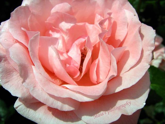 <b>Macro Pink Rose</b> Flower Raindrop Photograph by Jennie Marie Schell