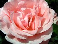 Pink rose head-macro