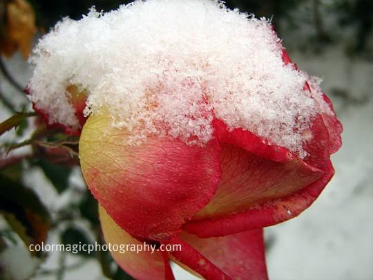 December rose