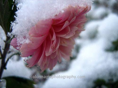 Pink chrysanthemums covered with snow