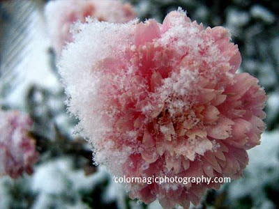 Pink chrysanthemums in snow