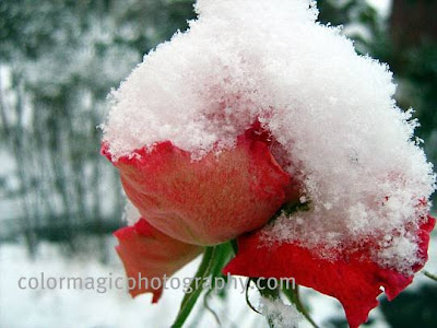 Red rose under snow