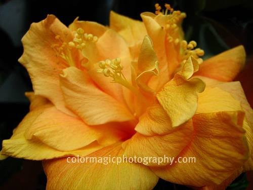 Yellow hibiscus picture